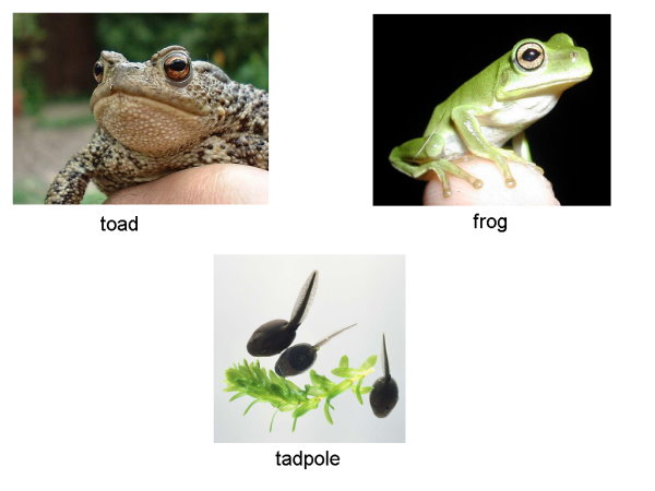 toad_tadpole_frog